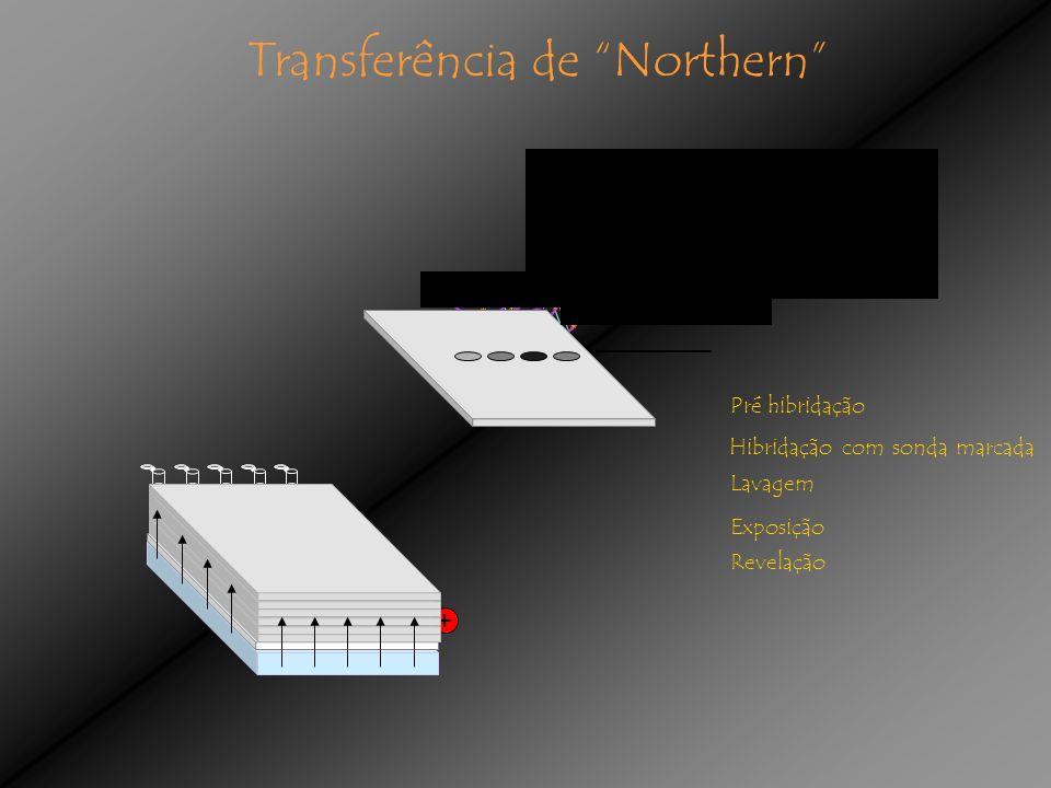 Pré hibridação Hibridação com sonda marcada Revelação Lavagem + - Exposição Transferência de Northern