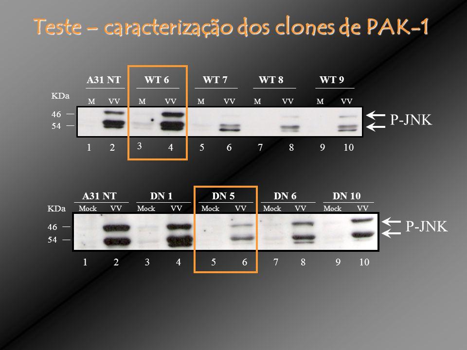 P-JNK 1 3 456789102 KDa 46 54 M VV M VV M VV M VV M VV A31 NT WT 6 WT 7 WT 8 WT 9 KDa 46 54 13456278910 P-JNK Mock VV Mock VV Mock VV Mock VV Mock VV A31 NT DN 1 DN 5 DN 6 DN 10 Teste – caracterização dos clones de PAK-1