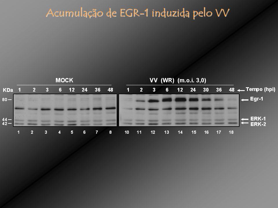 Acumulação de EGR-1 induzida pelo VV