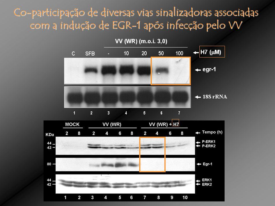 Co-participação de diversas vias sinalizadoras associadas com a indução de EGR-1 após infecção pelo VV