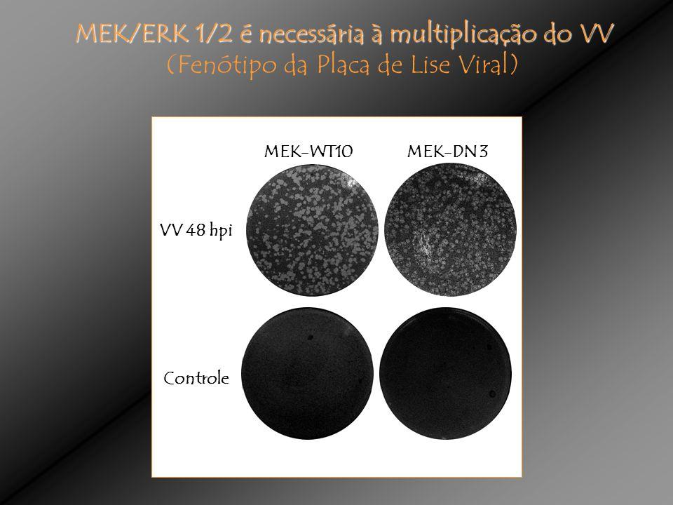 MEK-DN 3MEK-WT10 VV 48 hpi Controle MEK/ERK 1/2 é necessária à multiplicação do VV (Fenótipo da Placa de Lise Viral)