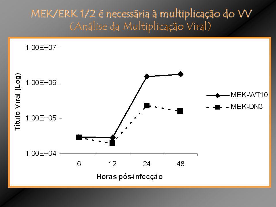MEK/ERK 1/2 é necessária à multiplicação do VV (Análise da Multiplicação Viral)