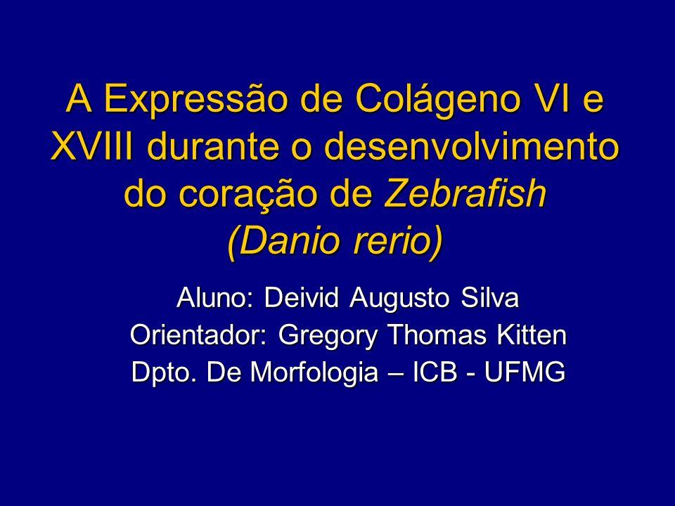 A Expressão de Colágeno VI e XVIII durante o desenvolvimento do coração de Zebrafish (Danio rerio) Aluno: Deivid Augusto Silva Orientador: Gregory Tho