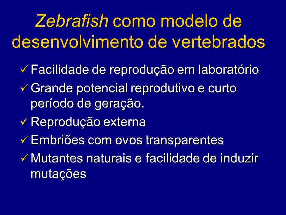 Zebrafish como modelo de desenvolvimento de vertebrados Facilidade de reprodução em laboratório Facilidade de reprodução em laboratório Grande potenci
