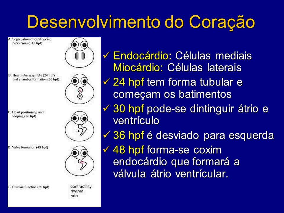 Desenvolvimento do Coração Endocárdio: Células mediais Miocárdio: Células laterais Endocárdio: Células mediais Miocárdio: Células laterais 24 hpf tem