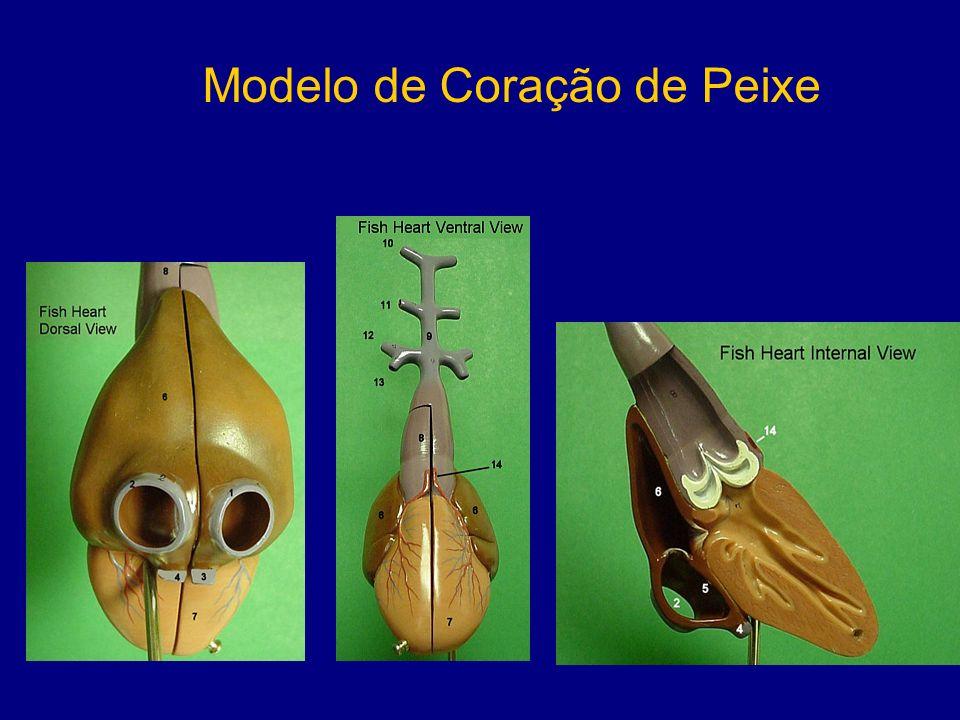 Colágeno XVIII em Zebrafish A – Visão lateral da região da cabeça B,C – Visão lateral do tronco mostrando marcação no cordão espinhal e primórdio da linha lateral D – Visão dorsal de embrião de 48hpf E – Visão lateral de embrião de 48hpf
