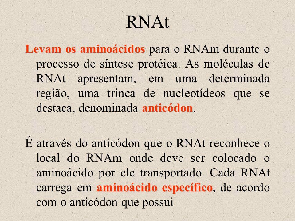 RNAt Levam os aminoácidos anticódon Levam os aminoácidos para o RNAm durante o processo de síntese protéica. As moléculas de RNAt apresentam, em uma d