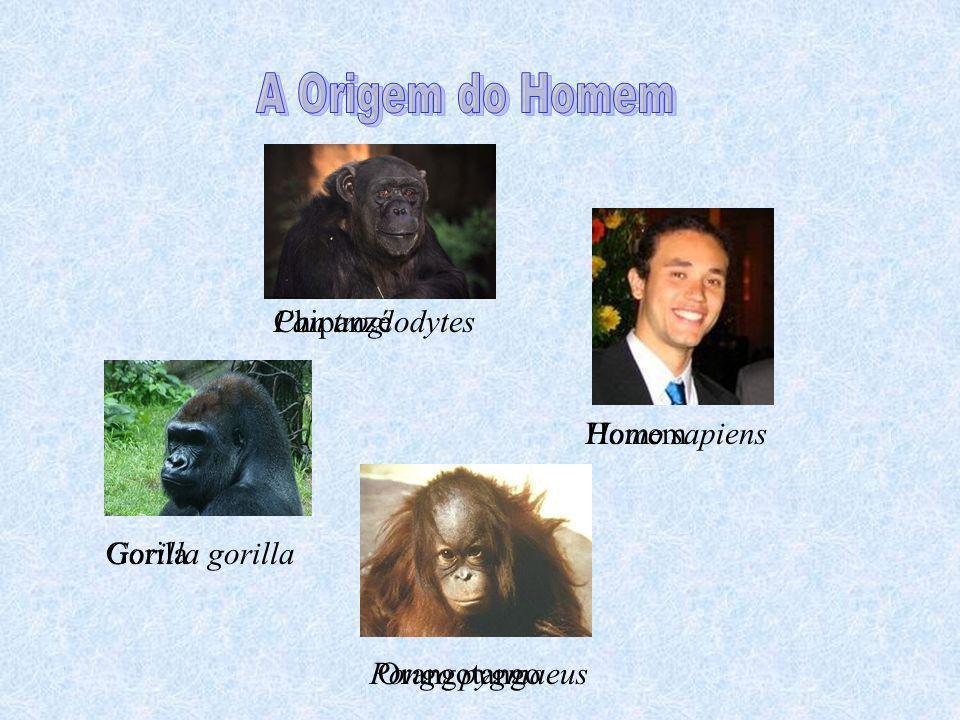 Homo sapiens Pan troglodytes Gorilla gorilla Pongo pygmaeus Chipanzé Gorila Orangotango Homem