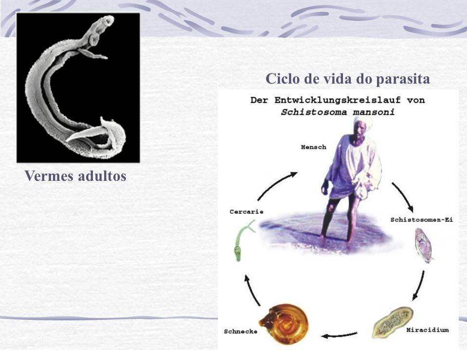Vermes adultos Ciclo de vida do parasita