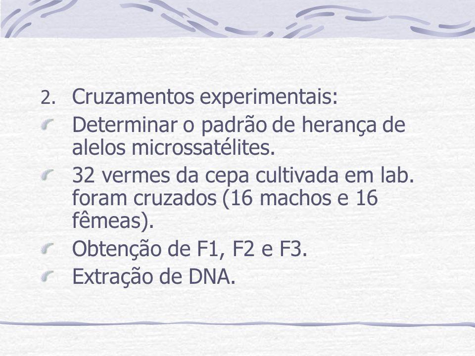 2. Cruzamentos experimentais: Determinar o padrão de herança de alelos microssatélites. 32 vermes da cepa cultivada em lab. foram cruzados (16 machos