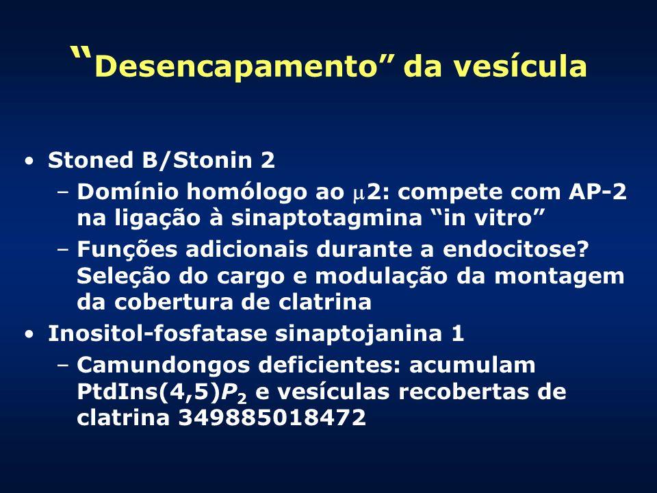 Desencapamento da vesícula Stoned B/Stonin 2 –Domínio homólogo ao 2: compete com AP-2 na ligação à sinaptotagmina in vitro –Funções adicionais durante