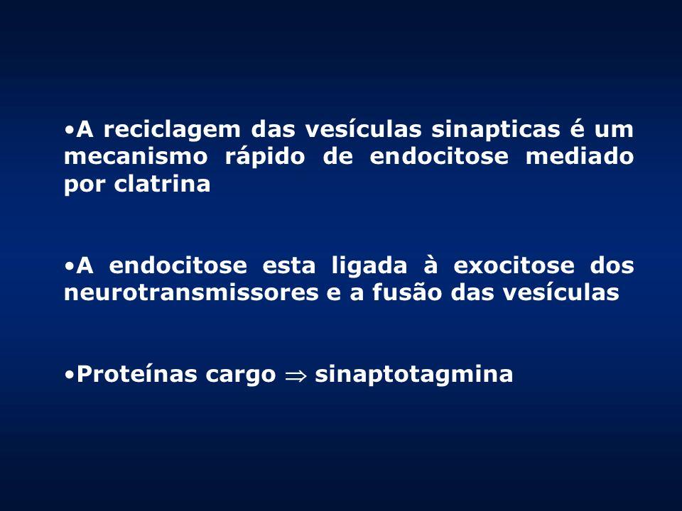 A reciclagem das vesículas sinapticas é um mecanismo rápido de endocitose mediado por clatrina A endocitose esta ligada à exocitose dos neurotransmiss