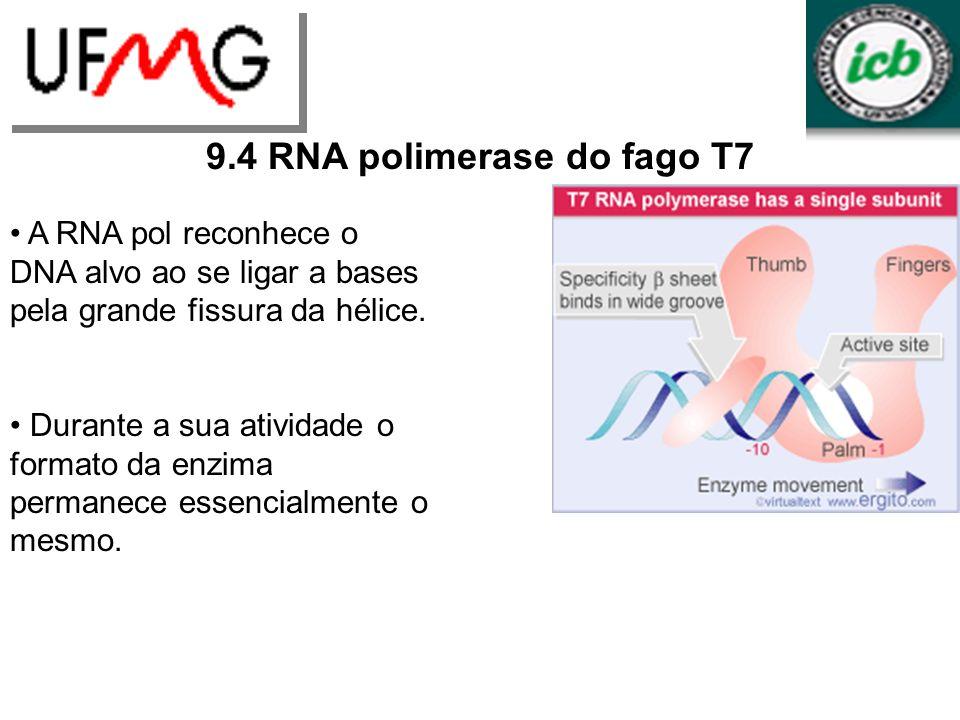 LGCMURLGA 9.4 RNA polimerase do fago T7 A RNA pol reconhece o DNA alvo ao se ligar a bases pela grande fissura da hélice. Durante a sua atividade o fo