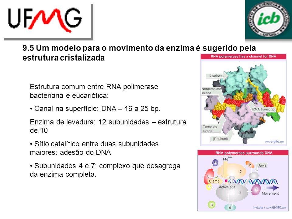 9.5 Um modelo para o movimento da enzima é sugerido pela estrutura cristalizada Estrutura comum entre RNA polimerase bacteriana e eucariótica: Canal n