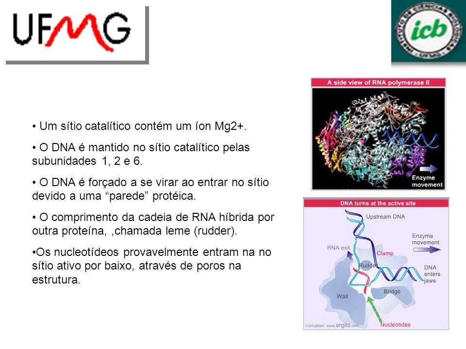 Um sítio catalítico contém um íon Mg2+. O DNA é mantido no sítio catalítico pelas subunidades 1, 2 e 6. O DNA é forçado a se virar ao entrar no sítio