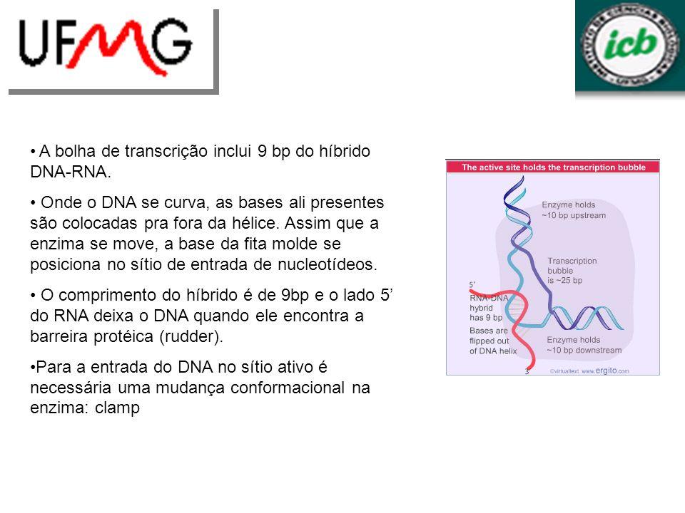 A bolha de transcrição inclui 9 bp do híbrido DNA-RNA. Onde o DNA se curva, as bases ali presentes são colocadas pra fora da hélice. Assim que a enzim