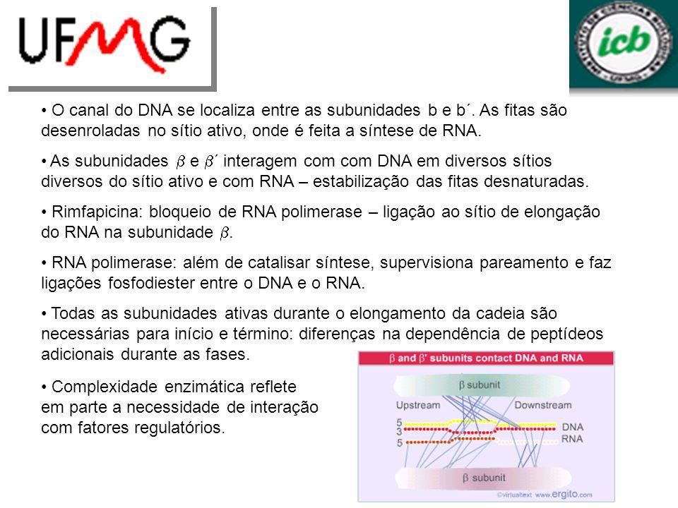 O canal do DNA se localiza entre as subunidades b e b´. As fitas são desenroladas no sítio ativo, onde é feita a síntese de RNA. As subunidades e ´ in