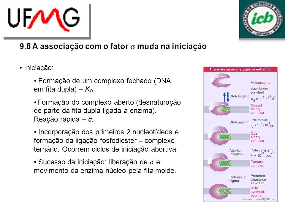 9.8 A associação com o fator muda na iniciação Iniciação: Formação de um complexo fechado (DNA em fita dupla) – K B Formação do complexo aberto (desna