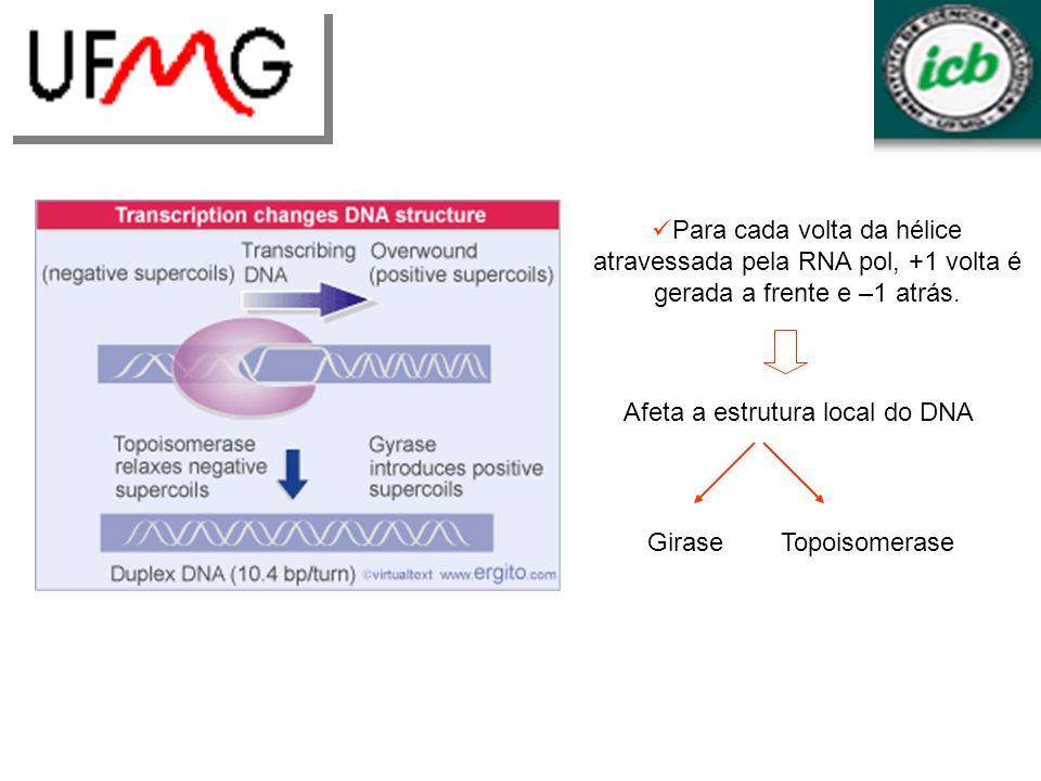 Para cada volta da hélice atravessada pela RNA pol, +1 volta é gerada a frente e –1 atrás. Afeta a estrutura local do DNA TopoisomeraseGirase