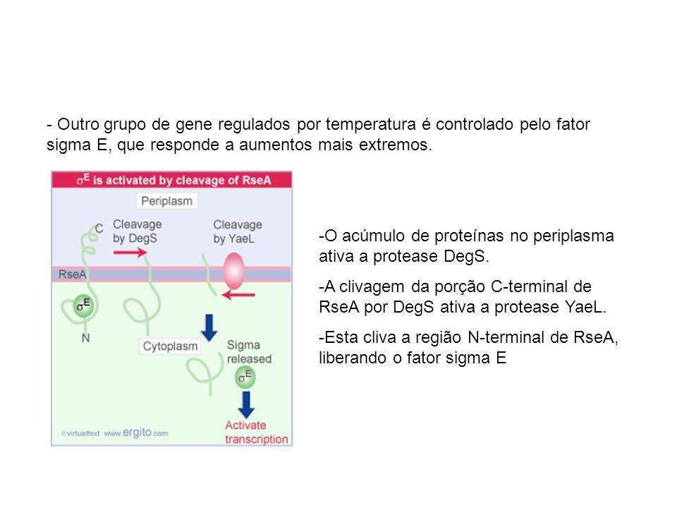 - Outro grupo de gene regulados por temperatura é controlado pelo fator sigma E, que responde a aumentos mais extremos. -O acúmulo de proteínas no per