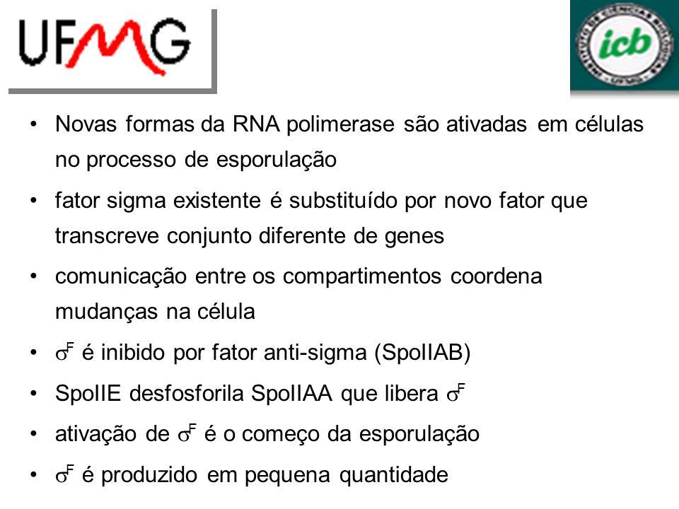 Novas formas da RNA polimerase são ativadas em células no processo de esporulação fator sigma existente é substituído por novo fator que transcreve co