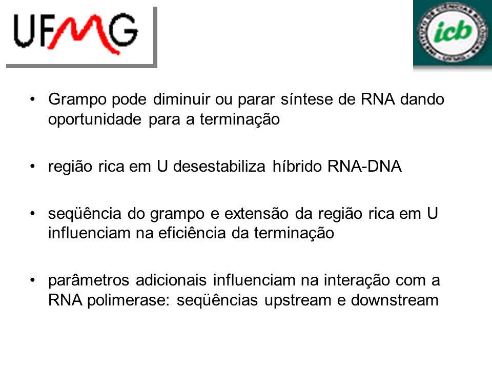 Grampo pode diminuir ou parar síntese de RNA dando oportunidade para a terminação região rica em U desestabiliza híbrido RNA-DNA seqüência do grampo e