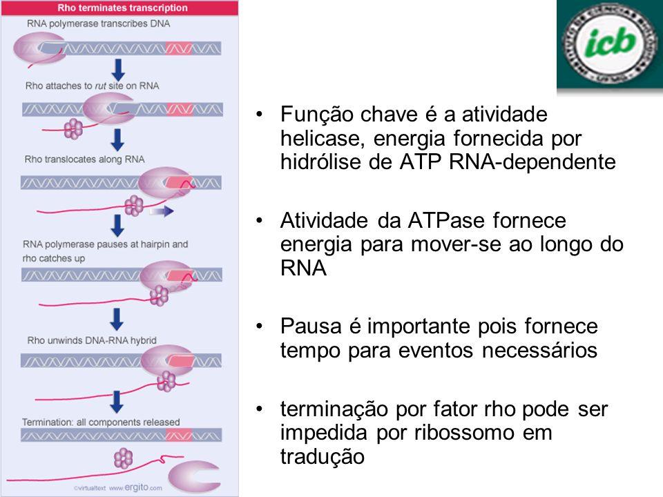 Função chave é a atividade helicase, energia fornecida por hidrólise de ATP RNA-dependente Atividade da ATPase fornece energia para mover-se ao longo