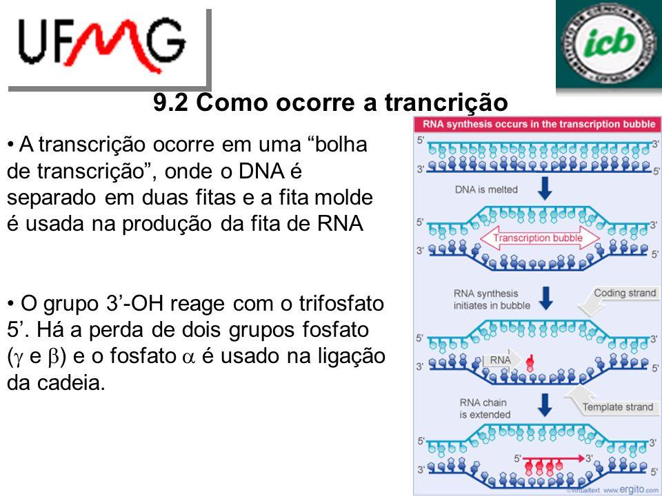 URLGA 9.2 Como ocorre a trancrição A transcrição ocorre em uma bolha de transcrição, onde o DNA é separado em duas fitas e a fita molde é usada na pro