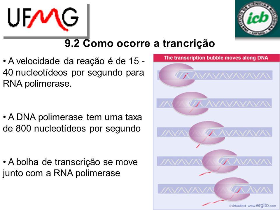 URLGA 9.2 Como ocorre a trancrição A velocidade da reação é de 15 - 40 nucleotídeos por segundo para RNA polimerase. A DNA polimerase tem uma taxa de