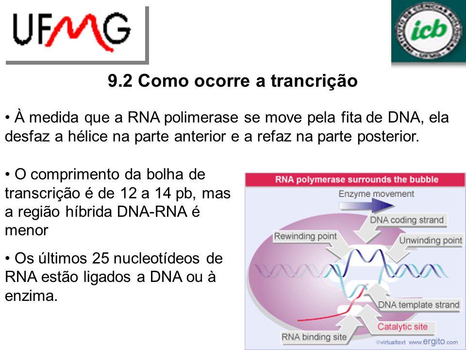 URLGA 9.2 Como ocorre a trancrição À medida que a RNA polimerase se move pela fita de DNA, ela desfaz a hélice na parte anterior e a refaz na parte po