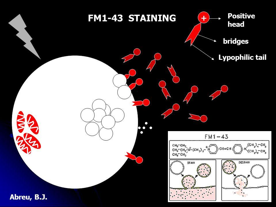 + Positive head Lypophilic tail bridges FM1-43 STAINING Abreu, B.J.