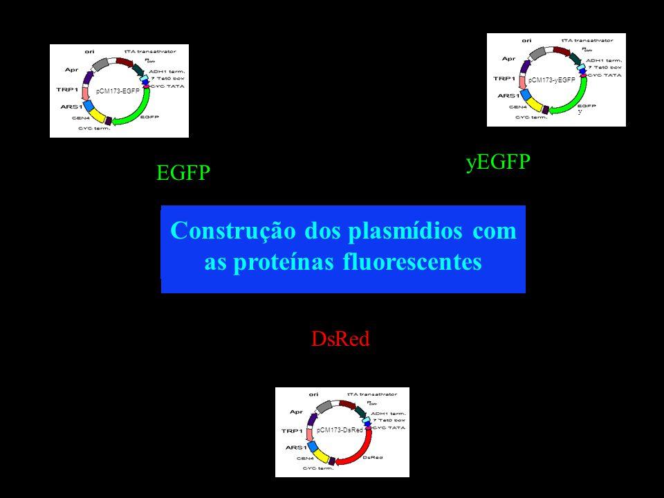 Construção dos plasmídios com as proteínas fluorescentes DsRed pCM173-DsRed EGFP pCM173-EGFP yEGFP pCM173-yEGFP y