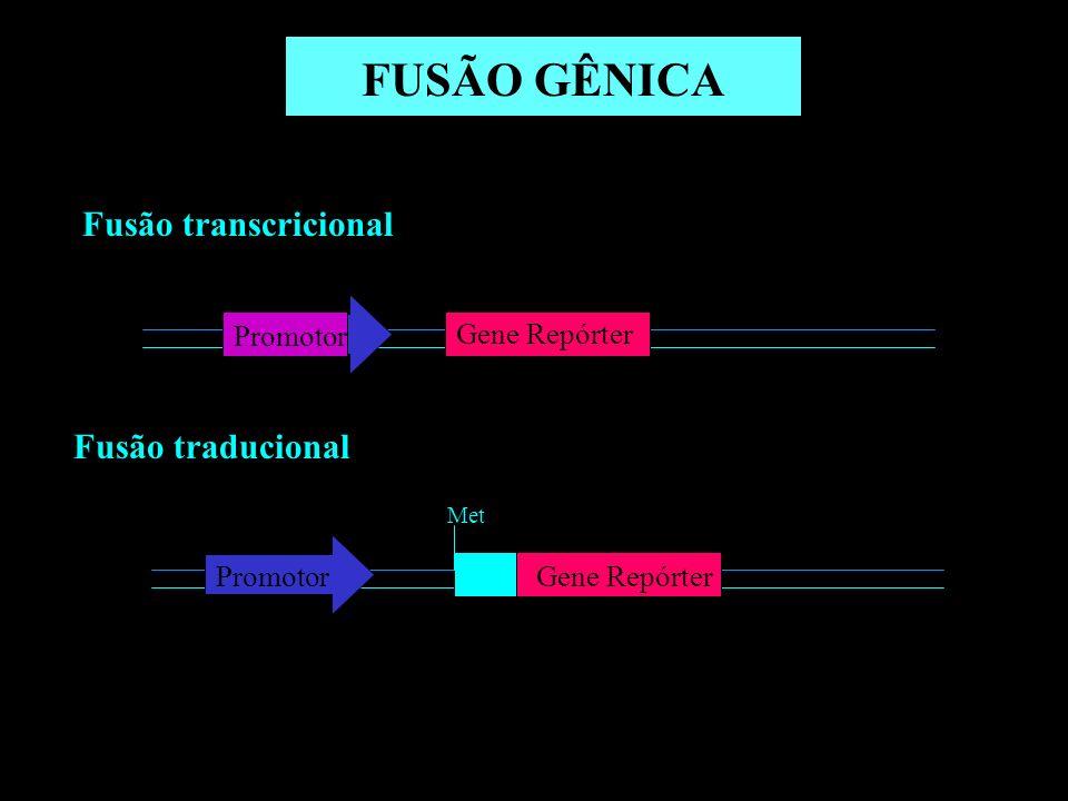Avaliação da expressão de lacZ utilizando MUG como substrato