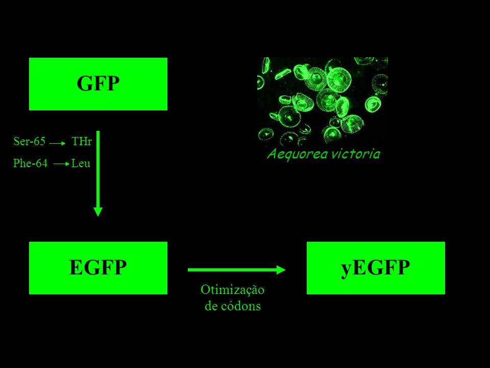 Aequorea victoria GFP EGFP Ser-65 THr Phe-64 Leu yEGFP Otimização de códons