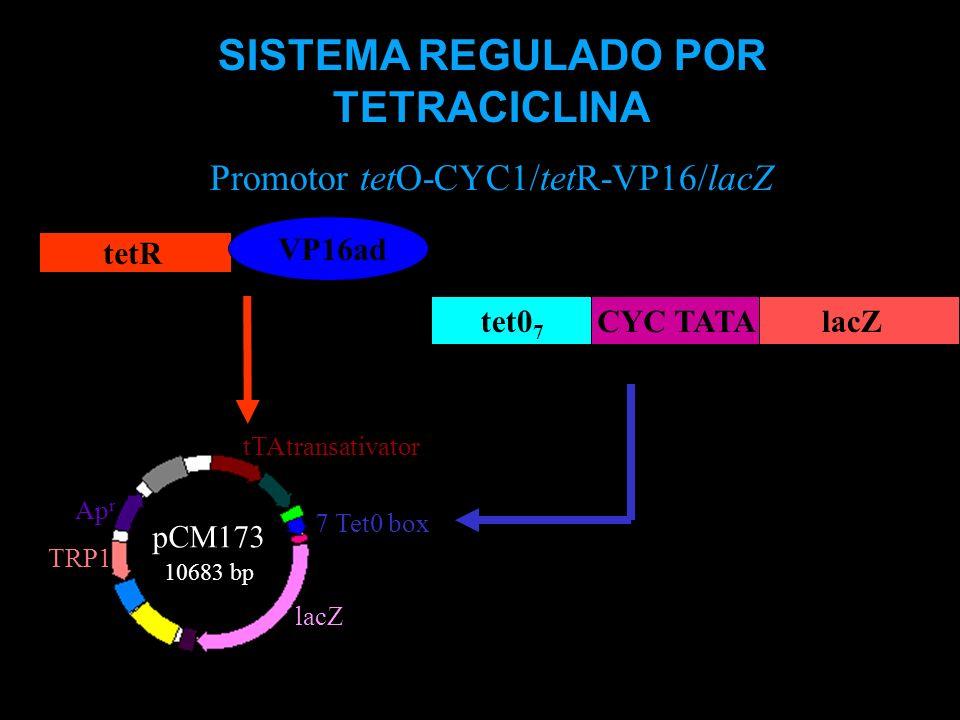 tTAtransativator 7 Tet0 box lacZ TRP1 Ap r pCM173 10683 bp tet0 7 CYC TATAlacZ tetR VP16ad SISTEMA REGULADO POR TETRACICLINA Promotor tetO-CYC1/tetR-V