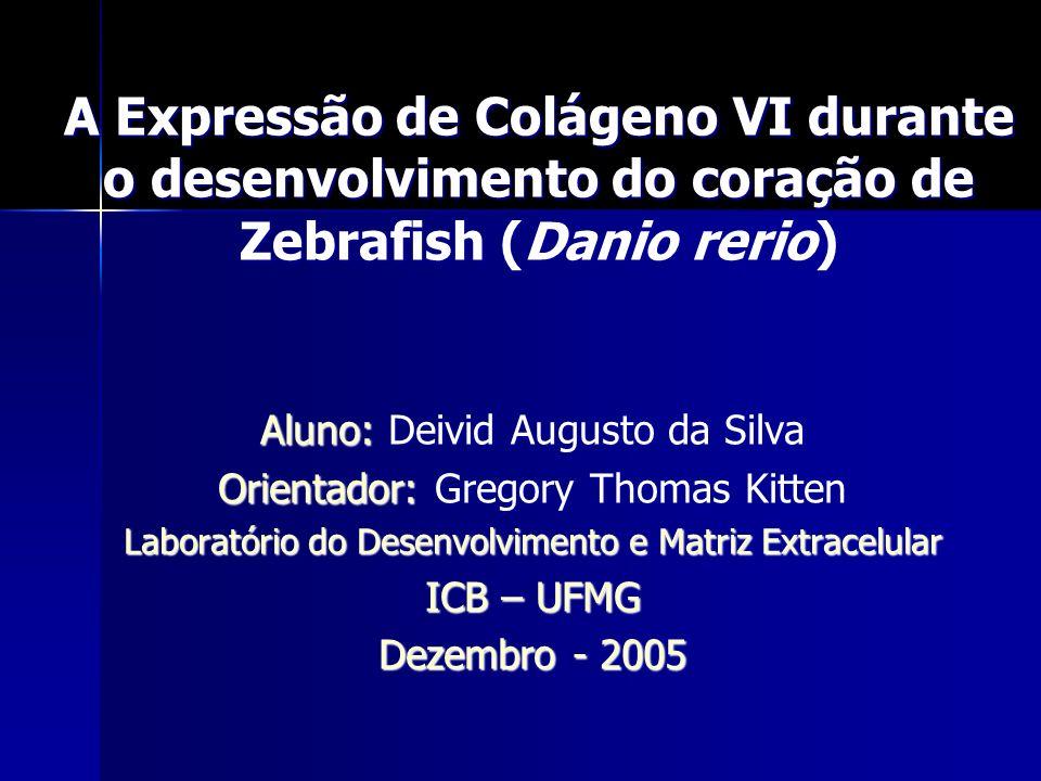 A Expressão de Colágeno VI durante o desenvolvimento do coração de Zebrafish (Danio rerio) Aluno: Deivid Augusto da Silva Orientador: Gregory Thomas K