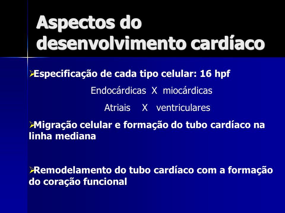 Aspectos do desenvolvimento cardíaco Especificação de cada tipo celular: 16 hpf Endocárdicas X miocárdicas Atriais X ventriculares Migração celular e