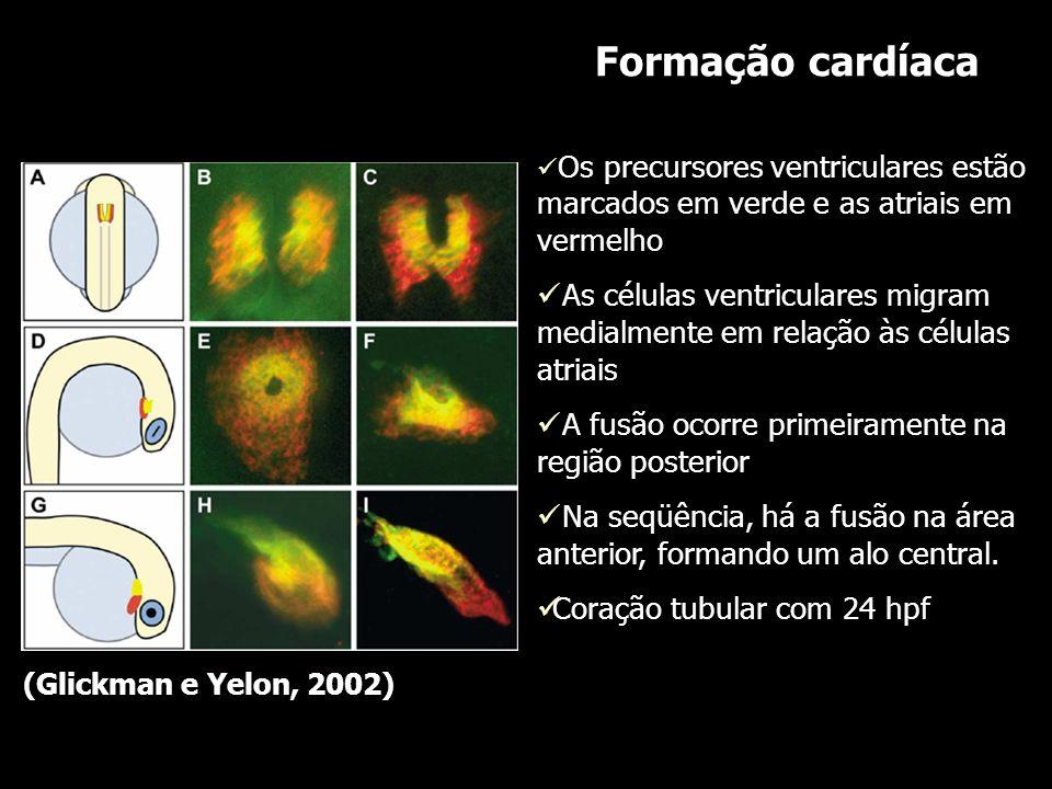 Formação cardíaca Os precursores ventriculares estão marcados em verde e as atriais em vermelho As células ventriculares migram medialmente em relação
