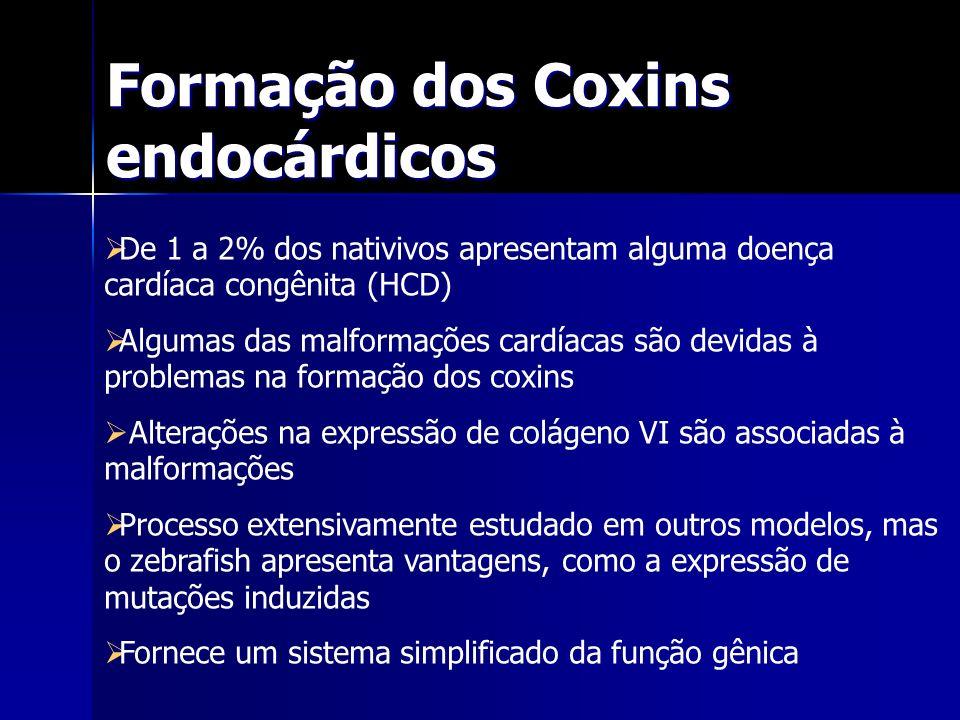 Formação dos Coxins endocárdicos De 1 a 2% dos nativivos apresentam alguma doença cardíaca congênita (HCD) Algumas das malformações cardíacas são devi