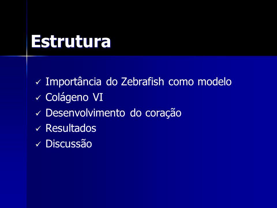 Estrutura Importância do Zebrafish como modelo Importância do Zebrafish como modelo Colágeno VI Colágeno VI Desenvolvimento do coração Desenvolvimento