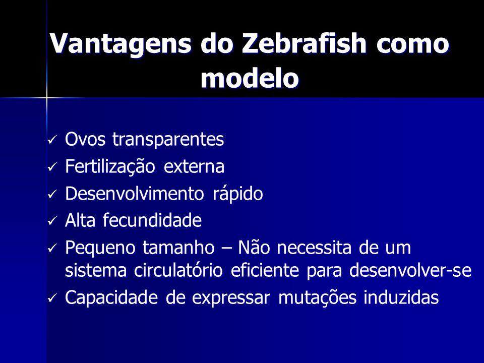 Vantagens do Zebrafish como modelo Ovos transparentes Ovos transparentes Fertilização externa Fertilização externa Desenvolvimento rápido Desenvolvime