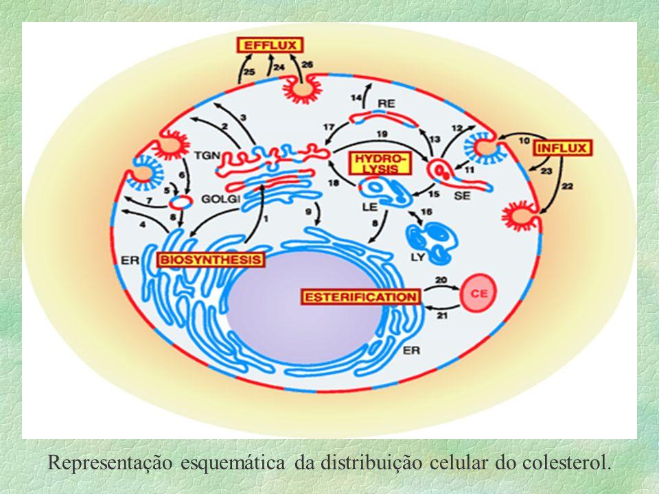 Rotas de Transporte do Colesterol Retículo Endoplasmático Membrana Plasmática Retículo Endoplasmático C. de Golgi Membrana Plasmática Proteína de Liga