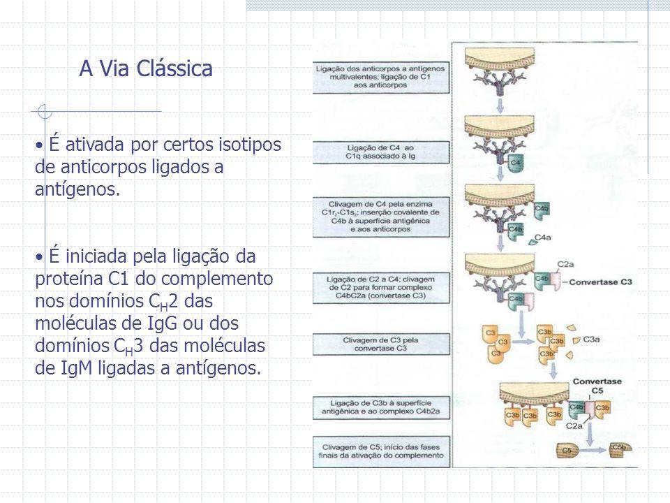 A Via Clássica É ativada por certos isotipos de anticorpos ligados a antígenos. É iniciada pela ligação da proteína C1 do complemento nos domínios C H