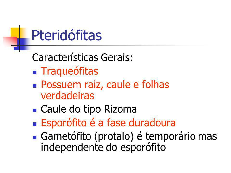 Pteridófitas Características Gerais: Traqueófitas Possuem raiz, caule e folhas verdadeiras Caule do tipo Rizoma Esporófito é a fase duradoura Gametófi