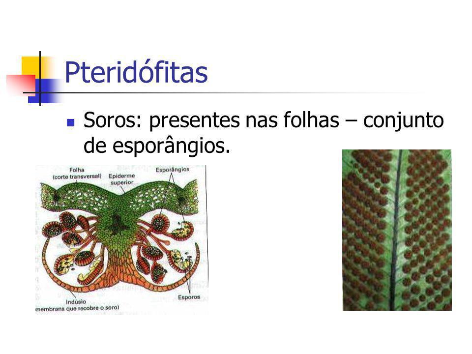 Pteridófitas Soros: presentes nas folhas – conjunto de esporângios.