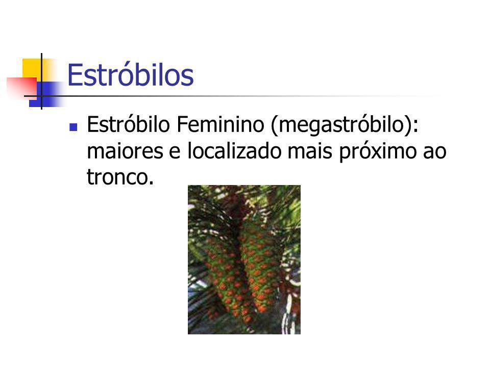 Estróbilos Estróbilo Feminino (megastróbilo): maiores e localizado mais próximo ao tronco.
