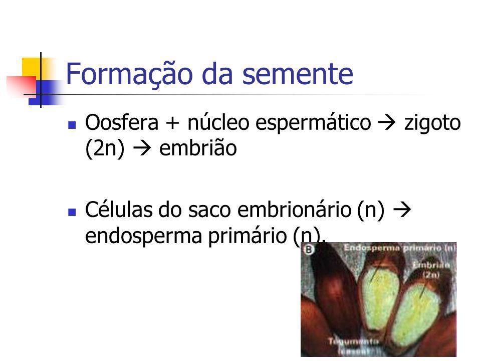 Formação da semente Oosfera + núcleo espermático zigoto (2n) embrião Células do saco embrionário (n) endosperma primário (n).