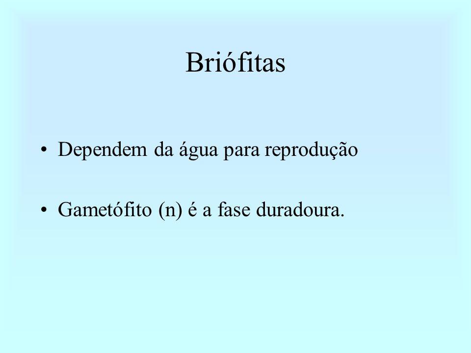 Briófitas Dependem da água para reprodução Gametófito (n) é a fase duradoura.