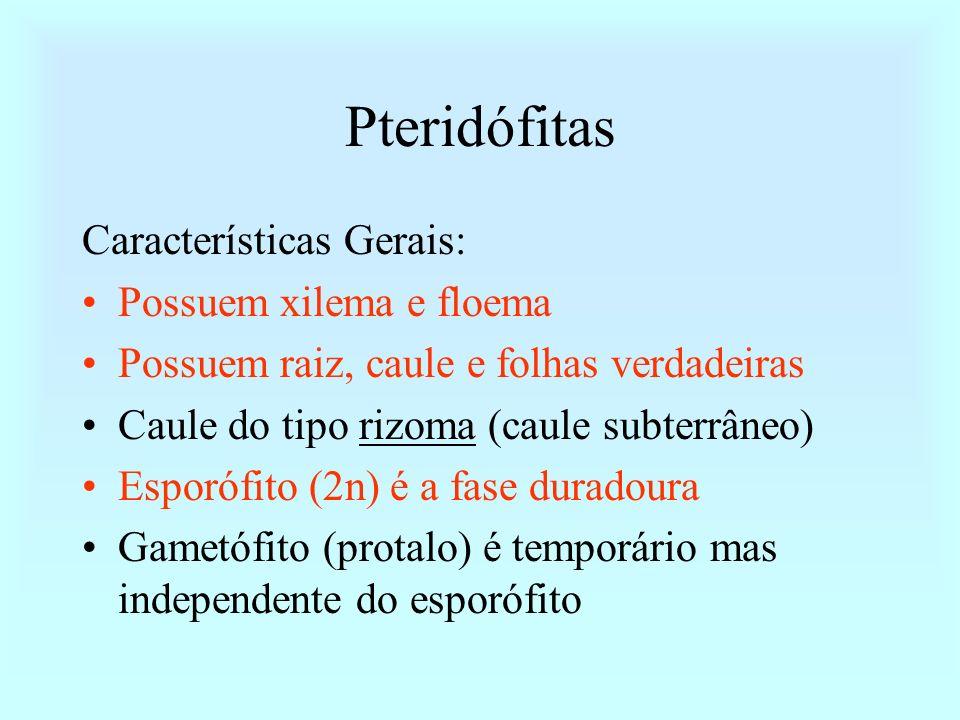 Pteridófitas Características Gerais: Possuem xilema e floema Possuem raiz, caule e folhas verdadeiras Caule do tipo rizoma (caule subterrâneo) Esporóf