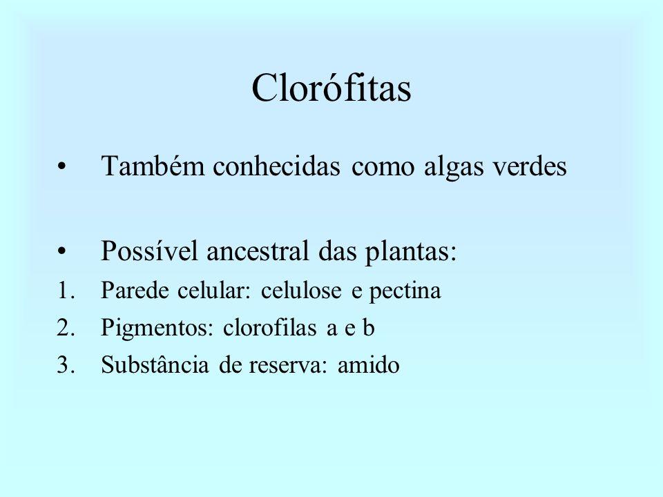 Clorófitas Também conhecidas como algas verdes Possível ancestral das plantas: 1.Parede celular: celulose e pectina 2.Pigmentos: clorofilas a e b 3.Su